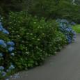 Hydrangea_road
